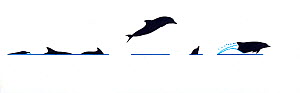 Illustration of Atlantic spotted dolphin (Stenella frontalis) breach and dive sequence in profile (Wildlife Art Company).  -  Martin Camm / Carwardine
