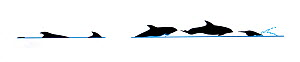 Atlantic white-sided dolphin (Lagenorhynchus acutus) breach and dive sequence in profile (Wildlife Art Company).  -  Martin Camm / Carwardine