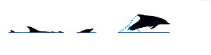 Illustration of Common dolphin (Delphinus delphis) breach sequence in profile (Wildlife Art Company).  -  Martin Camm / Carwardine