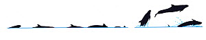 Illustration of False killer whale (Pseudorca crassidens) dive sequence in profile. Illustration of False pilot whale breach sequence in profile (Wildlife Art Company).  -  Martin Camm / Carwardine