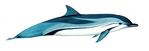 Illustration of Striped dolphin (Stenella coeruleoalba), Delphinidae (Wildlife Art Company).  -  Martin Camm / Carwardine