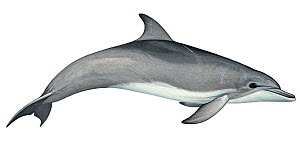 Illustration of Indo-Pacific bottlenose / Bottle-nosed dolphin (Tursiops aduncus), Delphnidae (Wildlife Art Company).  -  Martin Camm / Carwardine