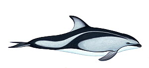 Illustration of Pacific white-sided dolphin / Lag (Lagenorhynchus obliquidens), Delphinidae (Wildlife Art Company).  -  Martin Camm / Carwardine