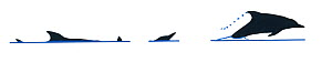 Illustration of Long-beaked common dolphin (Delphinus capensis), Delphinidae, dive and jump sequence in profile (Wildlife Art Company). - Martin Camm / Carwardine