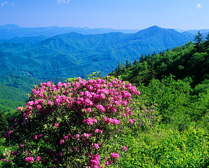 Catawba Rhododendron and distant Plott Balsam Mountains and Nantahala National Forest from the Blue Ridge Parkway, North Carolina, USA. - Visuals Unlimited