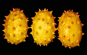 Kiwano / Horned Melon (Cucumis metuliferus) from tropical Africa.  -  Visuals Unlimited