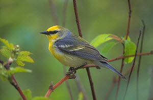 Brewster's warbler (Vermivora pinus), a hybrid between the Blue-winged warbler and the Golden-winged warbler, Pennsylvania, USA.  -  Visuals Unlimited