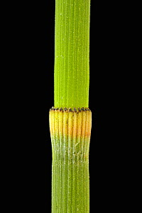 Stem of a Scouring Rush / Horsetail (Equisetum hyemale) showing one node.  -  Visuals Unlimited