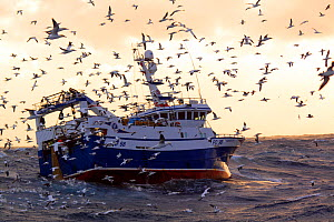 "Fishing vessel ""Harvester"" surrounded by Northern gannets (Morus bassanus) whilst hauling the trawl net onboard. North Sea, Europe, February 2011. Property released. - Philip Stephen"