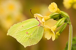 Brimstone butterfly (Goneopteryx rhamni) male on Oxslip flower in spring, UK, Captive, March - Andy Sands