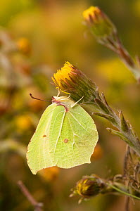 Brimstone butterfly (Goneopteryx rhamni) male on Coltsfoot flower in spring, UK, Captive, March - Andy Sands
