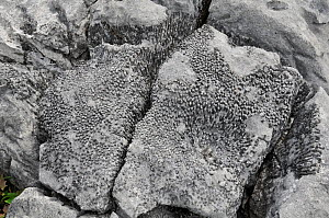Fossil of Colonial Coral in Carboniferous Limestone. The Burren, County Clare, Ireland, June  -  Adrian Davies