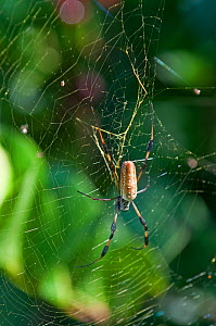 Golden Silk Spider (Nephila clavipes) female on web, Everglades, Florida, USA. December Note yellow pigment in web to attract small bees  -  Adrian Davies