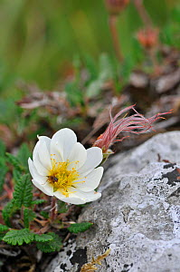 Mountain Avens (Dryas octopetala) in flower, The Burren, County Clare, Ireland. With seed head, June  -  Adrian Davies