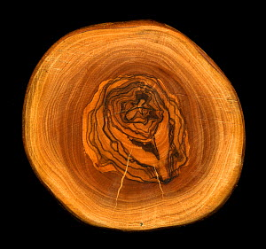 Polished section through Olive tree trunk (Olea europaea), showing growth rings. - Adrian Davies