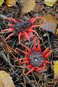 Starfish Fungus (Aseroe rubra), Surrey, UK, November  -  Adrian Davies