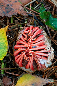 "Starfish Fungus (Aseroe rubra) starting to emerge from ""egg"", Surrey, UK, November  -  Adrian Davies"