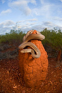 Olive python (Liasis olivaceus) perched on top of a termite mound. Many pythons shelter in hollow termite mounds when not hunting. Queensland, Australia, February  -  Jurgen Freund