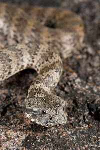 Common death adder (Acanthophis antarcticus) well camouflaged in its natural habitat. Queensland, Australia, February - Jurgen Freund