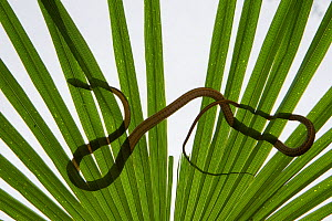 Common tree snake (Dendrelaphis punctulata) seen through a palm frond. Queensland, Australia, February - Jurgen Freund