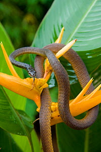 Common tree snake (Dendrelaphis punctulata) on a yellow Heliconia flower. Queensland, Australia, February - Jurgen Freund