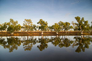 Row of Eucalyptus trees (Eucalyptus sp.) reflected on an oasis in the middle of the dry outback. Camooweal campground, Queensland, Australia, February 2008 - Jurgen Freund