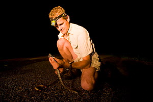 Researcher Guido Westhoff catching a highly venomous Common death adder (Acanthophis antarcticus) found 10 minutes into his group's evening road collection. The death adder ranks 9th out of the top 10...  -  Jurgen Freund