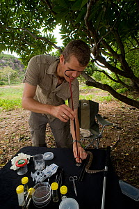 Researcher Guido Westhoff handles a highly venomous Common death adder (Acanthophis antarcticus) to extract a tooth from its mouth. He works in a mobile lab in the bush. The death adder ranks 9th out...  -  Jurgen Freund