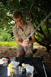 Researcher Guido Westhoff handling a highly venomous Common death adder (Acanthophis antarcticus) to extract a tooth from its mouth. He works in a mobile lab in the bush. The death adder ranks 9th out...  -  Jurgen Freund