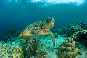 Green turtle (Chelonia mydas) resting on its flippers among corals in the reef shallows. Sipadan Island, Semporna, Sabah, Malaysia, June  -  Jurgen Freund
