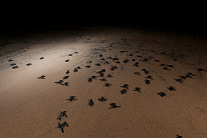 Leatherback turtle babies (Dermochelys coriacea) crawling quickly to the sea after hatching. Warmamedi beach, Bird's Head Peninsula, West Papua, Indonesia, July 2009  -  Jurgen Freund