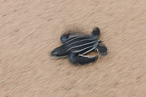 Baby Leatherback turtle (Dermochelys coriacea) heading quickly to the sea after hatching. Warmamedi beach, Bird's Head Peninsula, West Papua, Indonesia, July 2009  -  Jurgen Freund