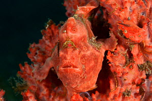 Pink Painted frogfish (Antennarius pictus) well-camouflaged on a pink sponge. Lembeh Strait, Sulawesi, Indonesia  -  Jurgen Freund