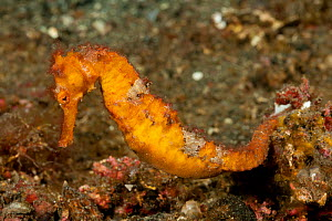 Estuary / Spotted / Common seahorse (Hippocampus kuda) in the rubble. Lembeh Strait, Sulawesi, Indonesia - Jurgen Freund
