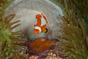 True clownfish / Clown anemonefish (Amphiprion percula) tending its eggs. Misool, Raja Ampat, West Papua, Indonesia0 - Jurgen Freund