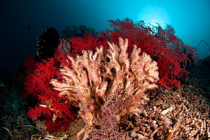 Feather duster / Coral worms (Filograna implexa) in the reef. Misool, Raja Ampat, West Papua, Indonesia  -  Jurgen Freund