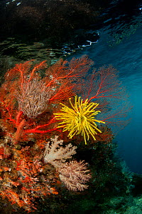 Fan corals (Gorgonacea) and Feather star (Crinoidea) in the reef shallows. Misool, Raja Ampat, West Papua, Indonesia, January  -  Juergen Freund
