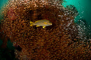 Yellow-ribbon sweetlips (Plectorhinchus polytaenia) surrounded by dense shoal of glassy sweepers (Pempheris schomburgki). North Raja Ampat, West Papua, Indonesia  -  Jurgen Freund