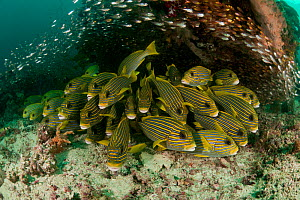 Schooling Yellow-ribbon sweetlips (Plectorhinchus polytaenia) surrounded by glassy sweepers (Pempheris schomburgki). North Raja Ampat, West Papua, Indonesia  -  Jurgen Freund