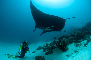 Giant manta ray (Manta birostris) at a cleaning station with diver looking up at it. North Raja Ampat, West Papua, Indonesia, February 2010  -  Jurgen Freund