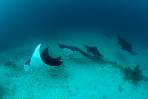A parade of Giant manta rays (Manta birostris) at a cleaning station. North Raja Ampat, West Papua, Indonesia, February - Jurgen Freund