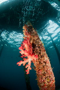 Soft coral (Dendronephthya sp) on a pillar of a jetty, North Raja Ampat, West Papua, Indonesia  -  Jurgen Freund