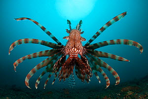 Common lionfish (Pterois volitans) seen from the rear. Lembeh Strait, North Sulawesi, Indonesia  -  Jurgen Freund