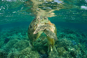 Mating Green turtles (Chelonia mydas) in the reef shallows. Sipadan Island, Sabah, Malaysia, June - Jurgen Freund