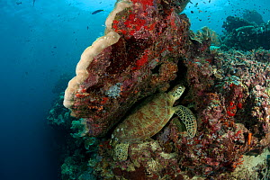 Green sea turtle (Chelonia mydas) resting in a crevice in the coral reef. Sipadan Island, Semporna, Sabah, Malaysia, June - Jurgen Freund