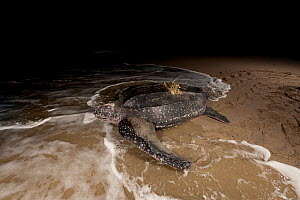 Leatherback turtle (Dermochelys coriacea) female equipped with sattelte transmitter returning to sea after nesting on the beach. Warmamedi beach, Bird's Head Peninsula, West Papua, Indonesia, July 200...  -  Jurgen Freund