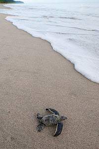 RF- Newly hatched Leatherback turtle (Dermochelys coriacea) baby moving from the nest towards the sea. Warmamedi beach, Bird's Head Peninsula, West Papua, Indonesia, July 2009. Endangered species. (Th...  -  Jurgen Freund
