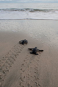 Newly hatched Leatherback turtle (Dermochelys coriacea) babies moving from the nest towards the sea. Warmamedi beach, Bird's Head Peninsula, West Papua, Indonesia, July 2009.  -  Jurgen Freund