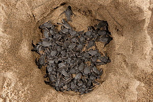 Leatherback turtle (Dermochelys coriacea) baby hatchlings coming out of their nest. Warmamedi beach, Bird's Head Peninsula, West Papua, Indonesia, July 2009.  -  Jurgen Freund