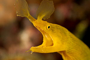Yellow ribbon eel / Ribbon moray eel (Rhinomuraena quaesita). Lembeh Strait, North Sulawesi, Indonesia.  -  Jurgen Freund